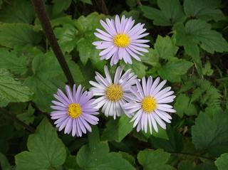 紫苑1.jpg