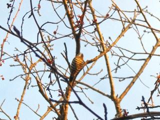 pigmy woodpecker1.jpg