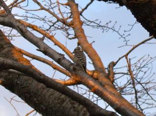 pigmy woodpecker2.jpg